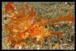 Ambon Scorpionfish in Lembeh Straits,  D300, 60mm AF-S, ... by Kay Burn Lim