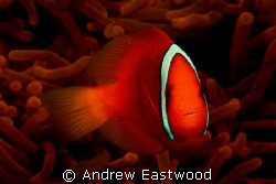 Tomato Anemonefish. Photographed with Canon EOS 40D at 1/... by Andrew Eastwood