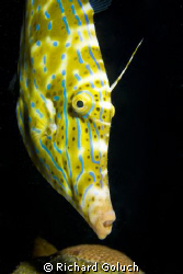 Scrawled Filefish -Bonaire night dive-Canon 5D 50 mm macro by Richard Goluch