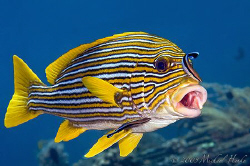 Yellow-ribbon sweetlips with cleaner wrasse. Nikon D300, ... by Michael Henke