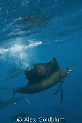 Sailfish re-entering the water with sardine in mouth by Alex Goldblum