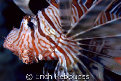 Lionfish at Ras Ghozlani, Ras Mohamed Park.   by Erich Reboucas