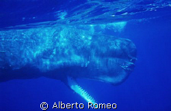 BIG SPERMWHALE ABOUT 18 METRES by Alberto Romeo