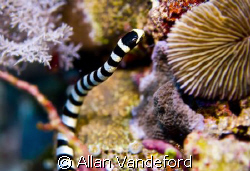 I had just taken a photo of a nudi when I looked down and... by Allan Vandeford