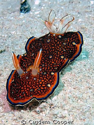 Red Sea chromodoris. Length: up to 3 cm. Taking in Marsa ... by Cigdem Cooper