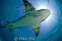 7 foot lemon shark at the surface, caught in the sun burs... by Mike Ellis