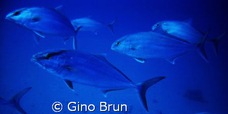 FISH...LOL by Gino Brun