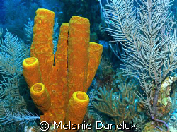 Cluster of Sponges, Grand Cayman (Aplysina Fistularis) by Melanie Daneluk