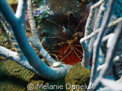 --------> Arrow crab with anemone and sea rods by Melanie Daneluk
