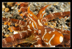 7 legged Wonderpus in the Lembeh Straits.... One of the l... by Kay Burn Lim