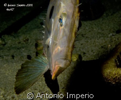 Pesce San Pietro by Antonio Imperio