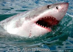 BIG WHITE SHARK by Alberto Romeo