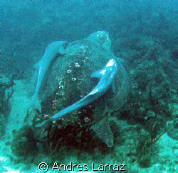 ON TOW/ Six feet leatherback w/ two 3' remoras on tow at ... by Andres Larraz