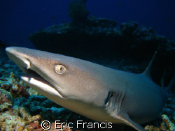 nice friendly white tip, no cropping or editing this is h... by Eric Francis