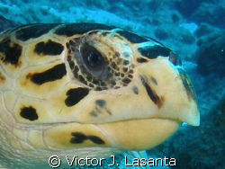 close-up of a hawksbillturtle at mermaid point dive site ... by Victor J. Lasanta