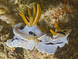 Chromodoris dianae in Anilao, Philippines. by Jim Chambers