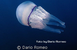 Ryzostoma pulmo by Dario Romeo