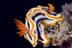 Nudibranch by Erika Antoniazzo