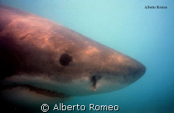 GREAT WHITE SHARK by Alberto Romeo