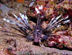 lionfish by Toby Lynch