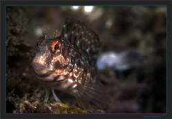 A Combtooth blenny (Parablennius incognitus ) by Sven Tramaux