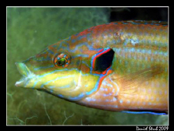 Ocellated wrasse - symphodus ocellatus. This guy was quit... by Daniel Strub