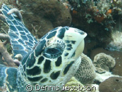 Hawksbill I almost ran into by Dennis Jacobson