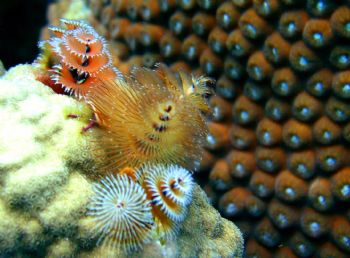 Christmas Tree Worms. Cliff Reef, Bonaire. Olympus C-4000... by Kevin Robert Panizza