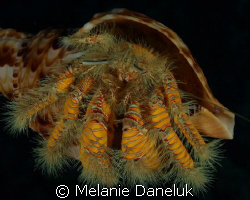 Show off!!  Yellow hairy hermit crab in Triton's Trumpet ... by Melanie Daneluk