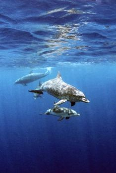 Spotted Dolphins: Placencia, Belize by Matthew Timberger