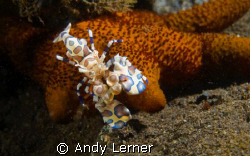 Harelquin shrimp having a little starfish for lunch in Bali by Andy Lerner