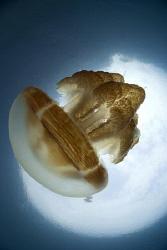 Non-stinging jellyfish taken while snorkling. I had a wet... by Erika Antoniazzo