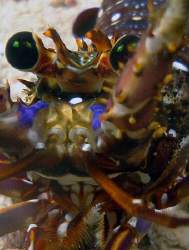 Pacific Spiny Lobster by Martin Dalsaso