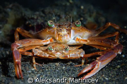 Just Married... Pair of crabs in Lembeh strait, Indonesia by Aleksandr Marinicev
