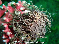 Basket star on noble coral. Taken at Crossroads reef in P... by Anthony Wooldridge