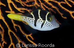Saddled Puffer by Larissa Roorda