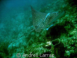 SPOTTED EAGLE RAY by Andres Larraz