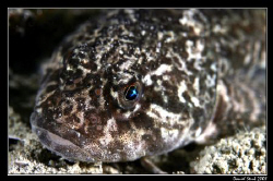 Cottus Gobio - European bullhead; il love the reflection ... by Daniel Strub