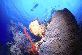 Star Coral, Yellow Barrel Sponge, Red Erect Rope Sponge, ... by Matthew Timberger