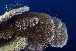 Table Corals at Kakaban island by Erika Antoniazzo