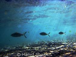 Persian Gulf Life 3 by Hamid Shamsi