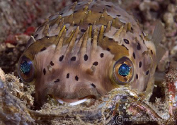 Porcupine fish.