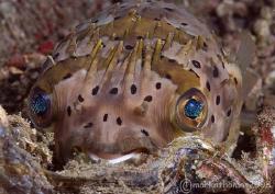 Porcupine fish. Lembeh. 60mm. by Mark Thomas