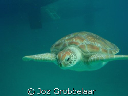 Diamond back turtle by Joz Grobbelaar