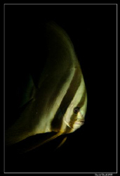 A young bat fish - platax pinnatus? - was following us du... by Daniel Strub