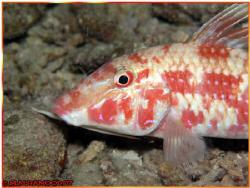 Goatfish.....    It was taken in a night dive in Jana I... by Mohammed Al Hamood