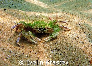 Latin name- Partunus holsatus.Bulgarian name-Swimming crab. by Ivelin Krastev