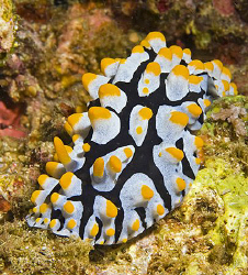 This Phyllidia exquisita was indeed exquisite. by Jim Chambers