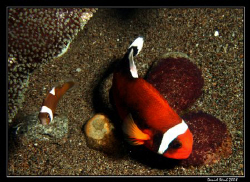 Panda Clownfish (Perca polymnus), also known as Saddlebac... by Daniel Strub