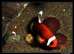 Panda Clownfish (Perca polymnus), also known as Saddlebac... by Daniel Strub